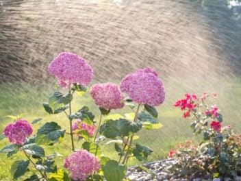 Hortensien werden per Sprinkleranlage bewässert