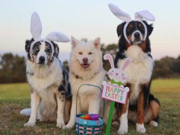 Drei Hunde mit Hasenohren und einem Osternest