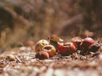 Äpfel liegen auf einem Kompost, halb verrottet