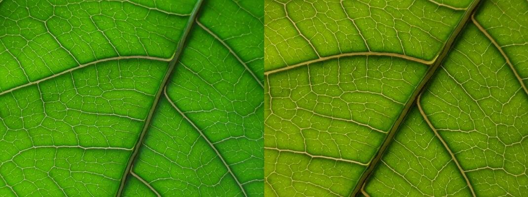 Blatt einer Pflanze im Gegenlicht: Links Makro Samsung Galaxy S10+, rechts Huawei Mate 20 Pro