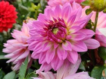 OnePlus 7T Kamera-Test: Blume in Rosa