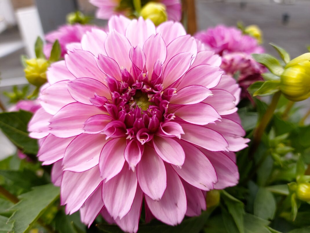 Blume, aufgenommen mit dem Samsung Galaxy A80 im Test